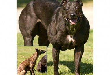 ГМ собаки