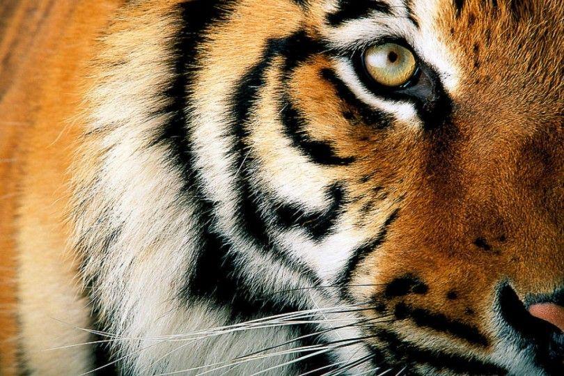 тигр животное