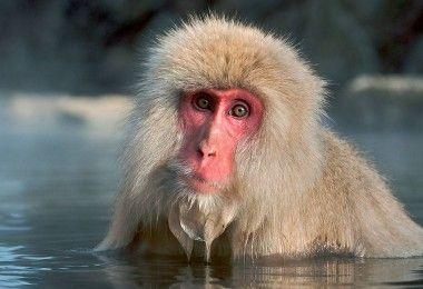 макака обезьяна