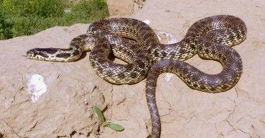 Змеи Казахстана змея