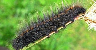 гусеницы коконопряда
