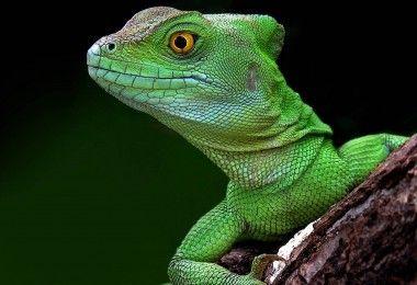 ящерица животное рептилия