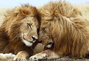 лев львы животные