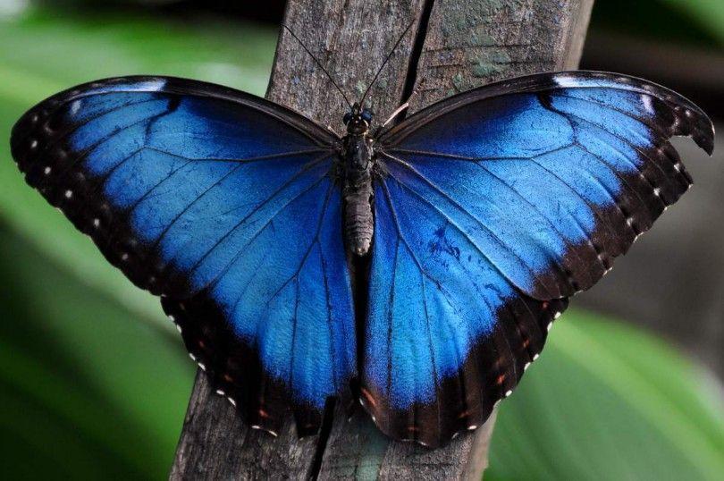 морфо бабочка природа насекомое
