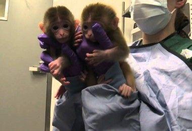 клонированные обезьяны Жон Жон и Хуа Хуа