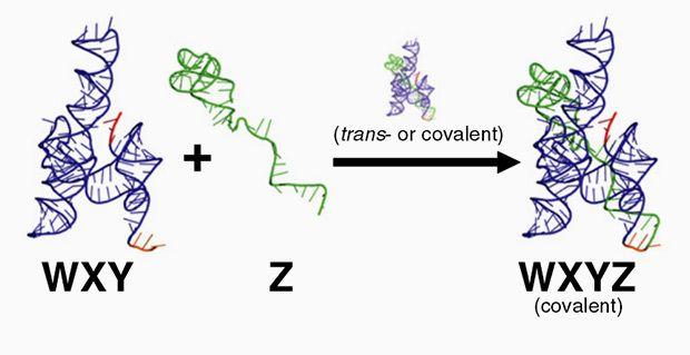 Реакция между различными фрагментами рибозима Azo с образованием целой молекулы Изображение: Jessica A. M. Yeates et al. Department of Chemistry, Portland State University.