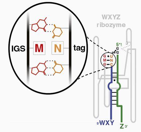 Взаимодействие между последовательностями различных фрагментов рибозима с помощью водородных связей Изображение: Jessica A. M. Yeates et al. Department of Chemistry, Portland State University.