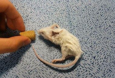 мышь Серджио Канаверо трансплантация головы