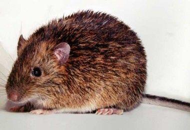 рюкийская колючая мышь