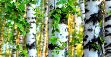 берёза дерево природа экология