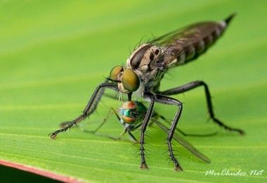 ктыри муха