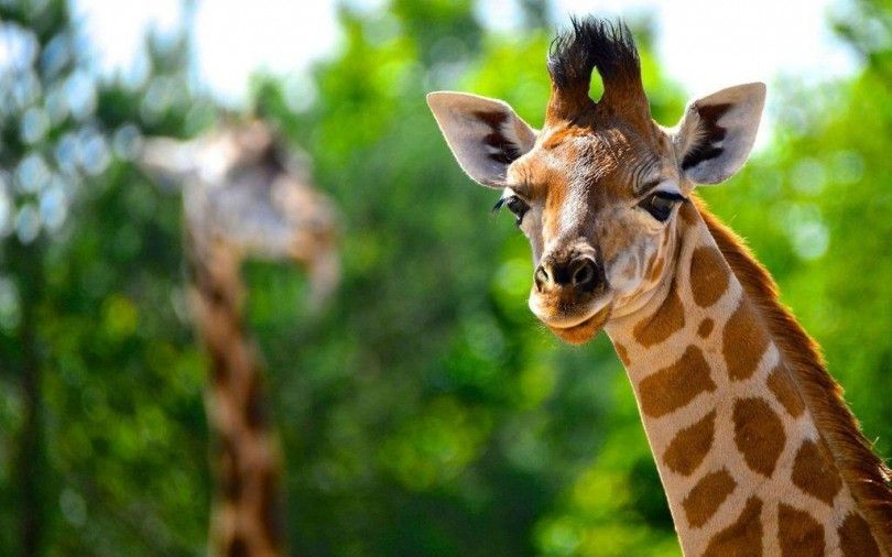 жираф животное зоо