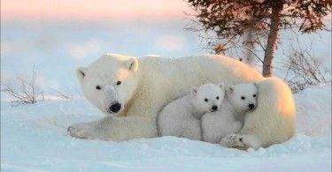 белый медведь мишка