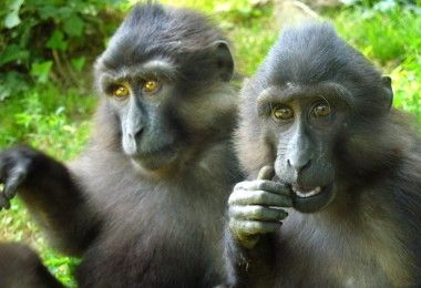 тонкский макак обезьяна примат животное