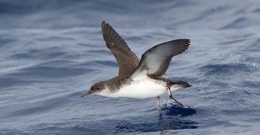 буревестник толстоклювый море птица животные