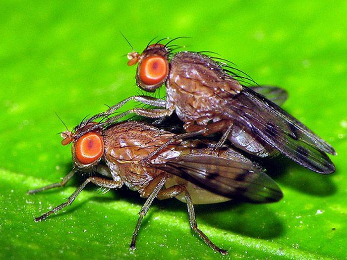 муха дрозофила насекомые
