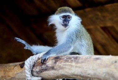 зелёная мартышка животное примат