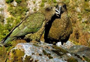 попугай кеа птица попугаи птицы